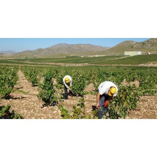 Jumilla Grape Harvest  Mondays